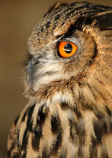 Owl by Curtain