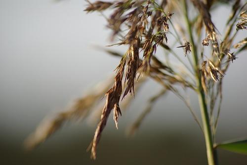 golden grass by wipka84