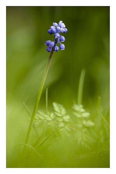 Grape Hyacinth by baker58