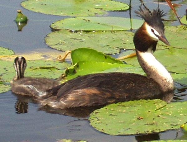 Waterbird by javas