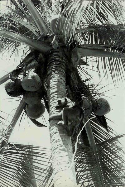 Coconut picking monkey by Captsaigon