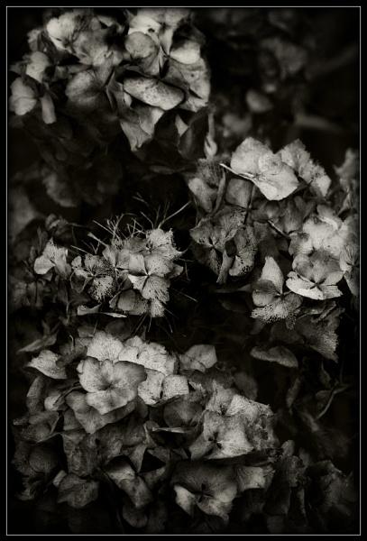 Monotone Hydrangea by Morpyre