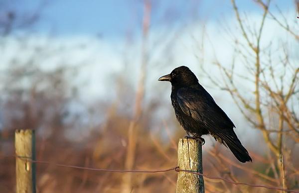 Crow by Orrill