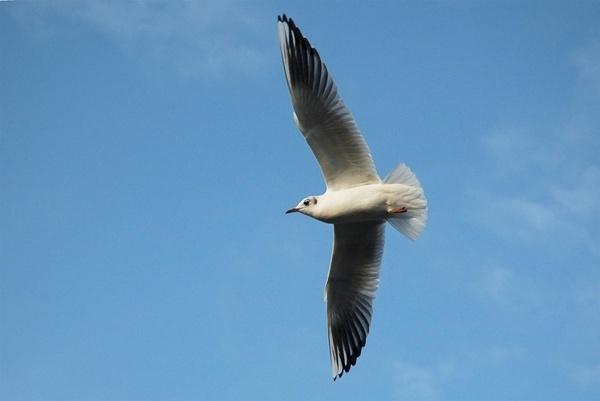 Gull in Flight by Hobo