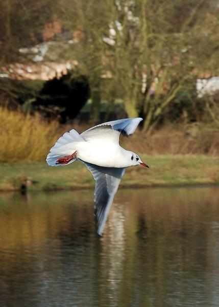 Gull in Flight (3) by Hobo