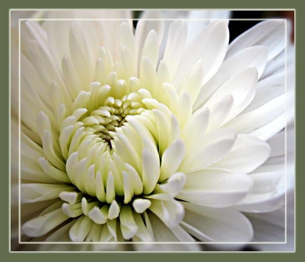Chryanthemum by Sylviwhalley