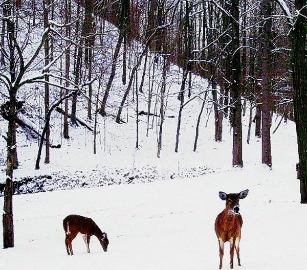 oh deer by dawnmichelle
