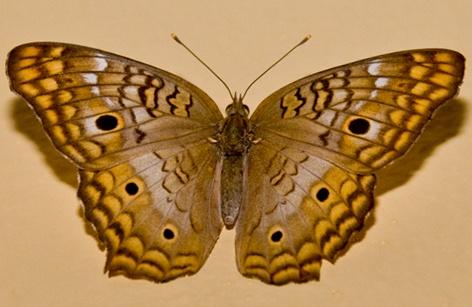 Butterfly by mavericke