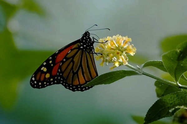 Butterfly by Gil