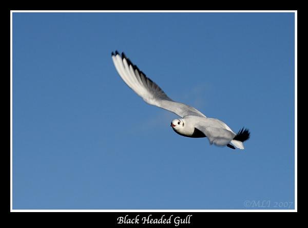 Black Headed Gull by mialewis