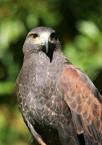 Hawk by Curtain