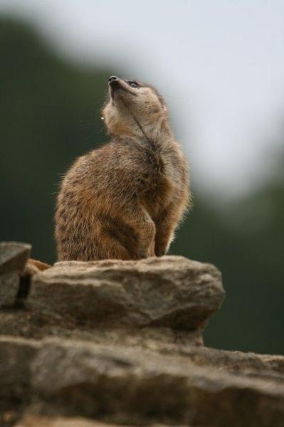 Meerkat with attitude by SarahJ
