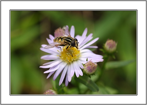 Hoverfly by Keith-Mckevitt