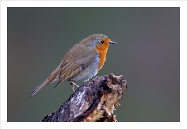 Xmas Robin by Keith-Mckevitt