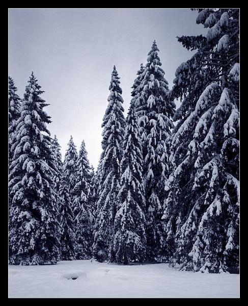 Fir trees by joolsb