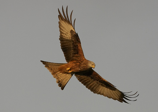 Red Kite by barnowl