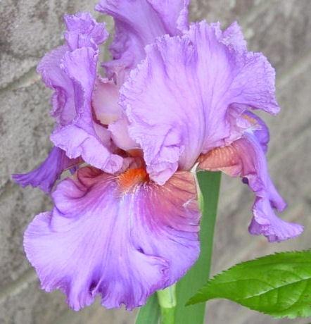 ~Iris~ by FlutrByShutrBy