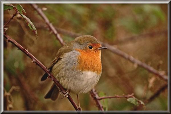 Mr Chubby Robin by clur