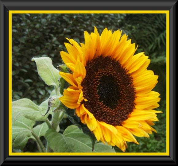 sun flower by jaecat