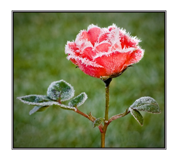 Frosted rose by jstock