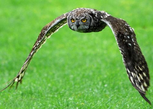 Owl by goll116