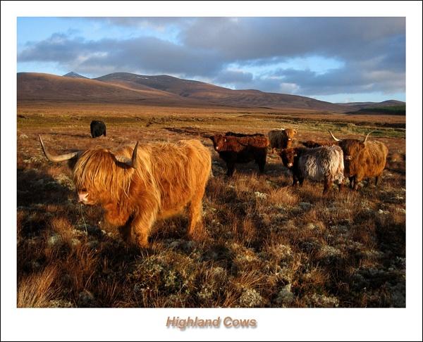Highland Cows 2 by Sue_R