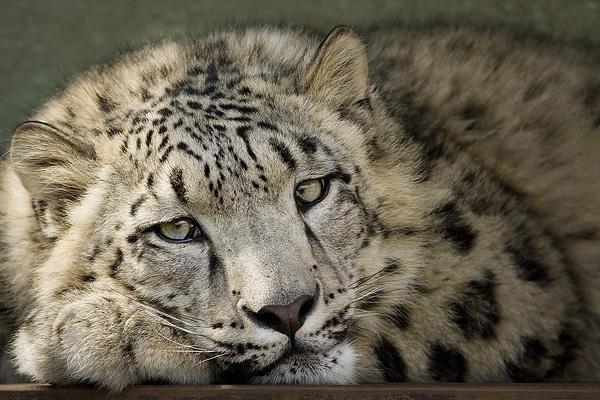 Snow Leopard by mumfie2003