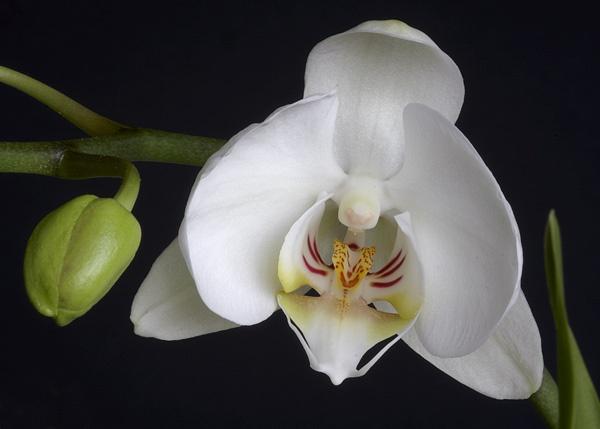 Orchid by albyn