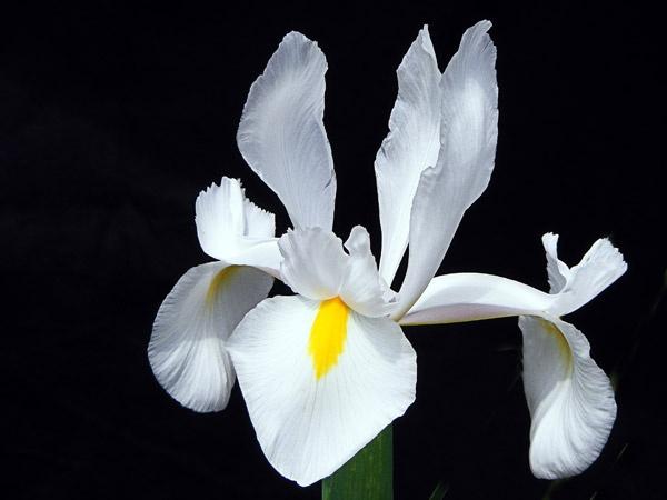White Iris by justinasnap