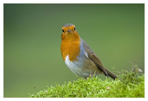 Robin by GaZn