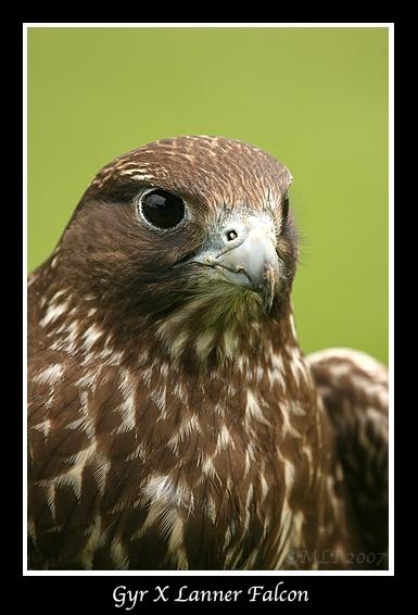 Gyr X Lanner Falcon by mialewis