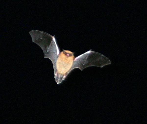 Batty by funkymaggot