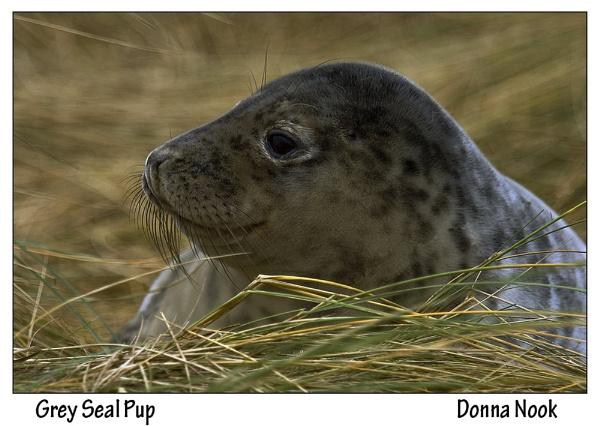 Grey Seal pup by IMAGESTAR