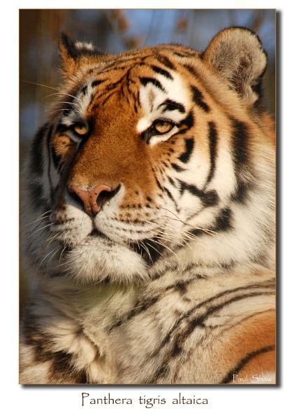 Amur Tiger by rangerpaul