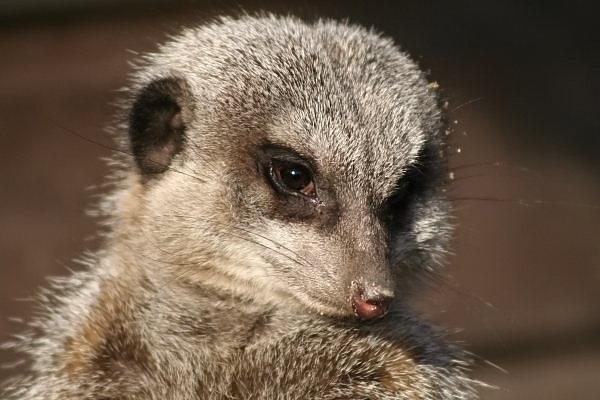 Meerkat by freddos