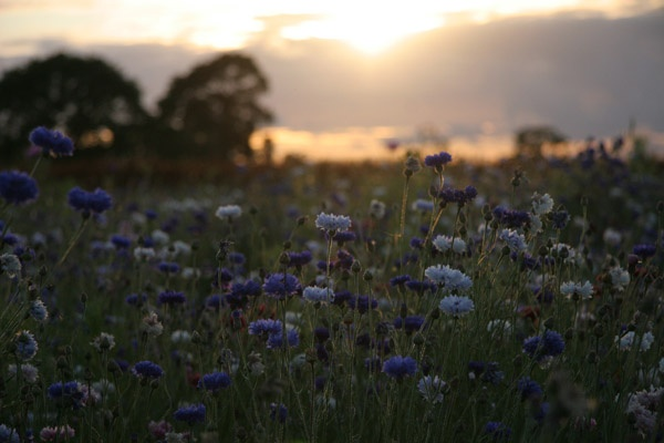 Cornflowers and Sunset by Meg