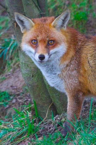 Fox portrait by yasika