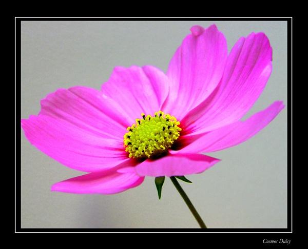 Cosmos Daisy by MandsH