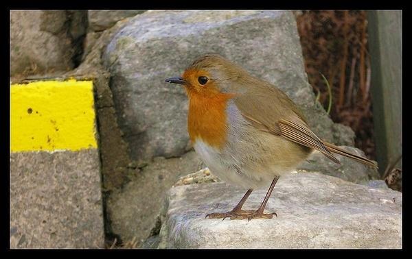 Robin by whoami2b