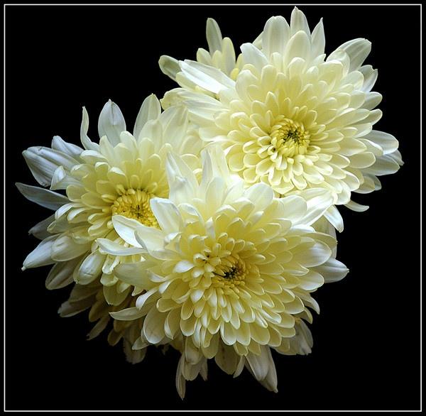 Chrysanthemums by derekv