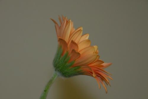 Gerbera by TinyTog