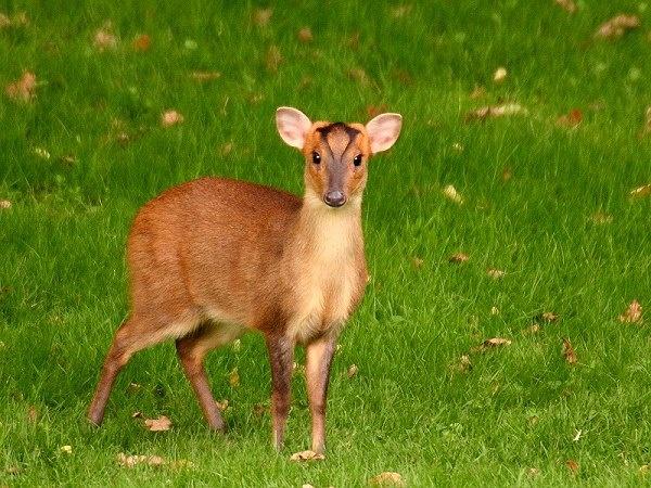 Muntjac Deer - Muntiacus reevesi by jbailey