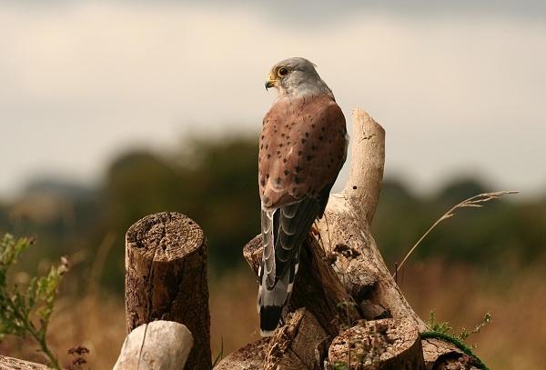 Kestrel - Falco tinnunculus by jbailey