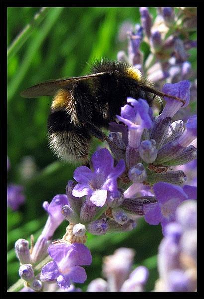 Lavender Honey by _estel_