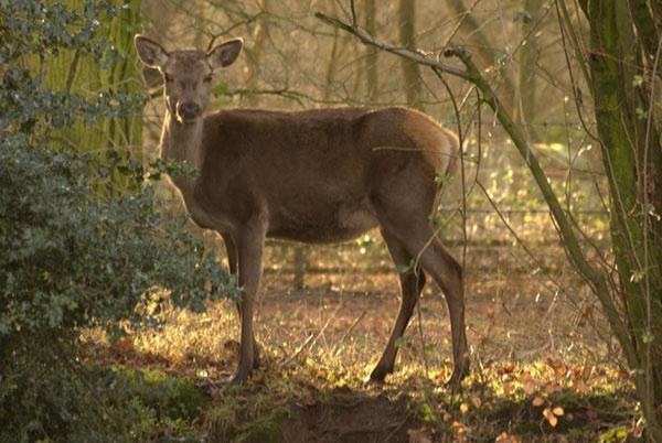 Fallow deer by Stuarty
