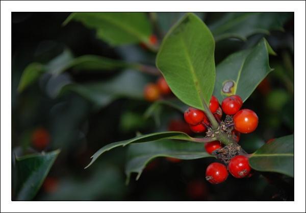 Christmas Berries by dans107