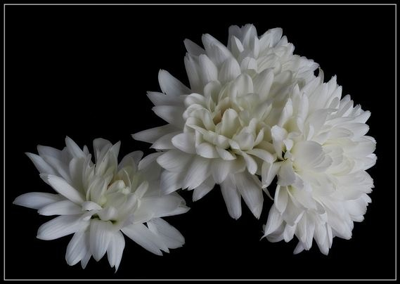 Spray Chrysanth by ChristineD