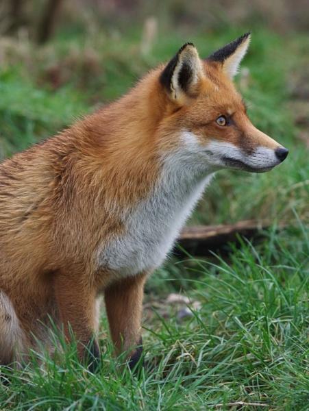 Foxy by yasika
