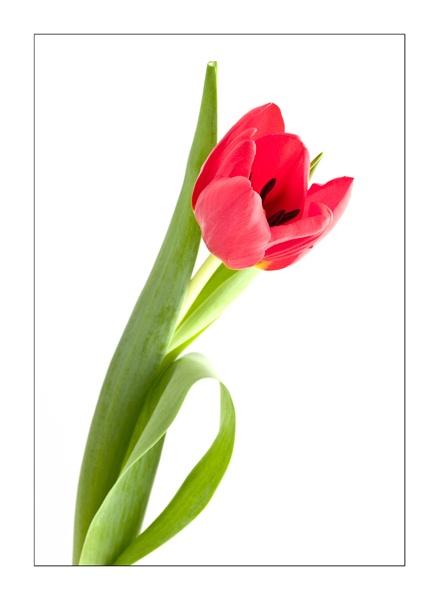 Tulip by Gareth_H