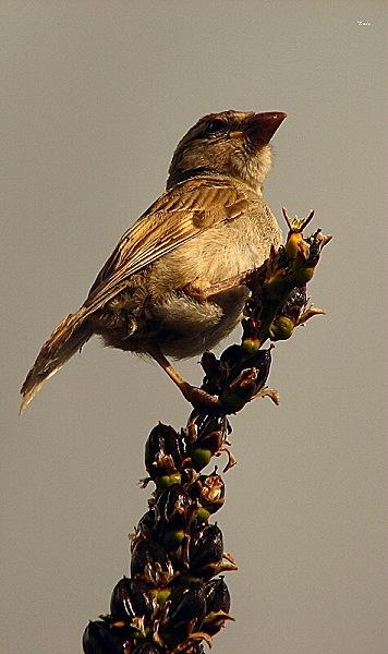 A Proud Sparrow by DevilsAdvocate